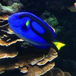 I hope this regal blue tang doesn't suffer from short term memory loss.